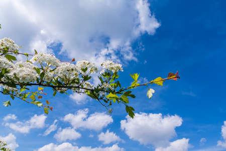 crata�gus: Ramita de un monogyna Crataegus floraci�n (espino de un solo cabeza de serie, el espino com�n) contra un cielo nublado.
