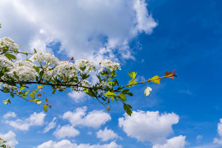 Twig of a blooming Crataegus monogyna (common hawthorn single-seeded hawthorn) against a cloudy sky. photo