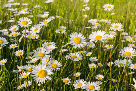 oxeye: Blooming flowers (Leucanthemum vulgare Lam., ox-eye daisy, oxeye daisy) in the meadow Stock Photo