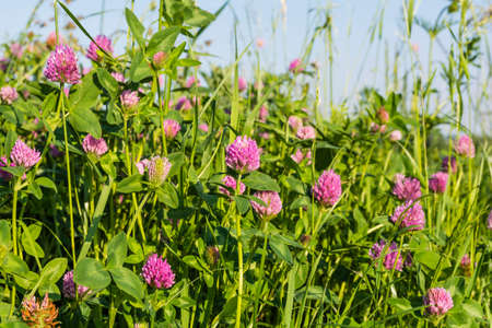 trifolium: Beautiful pink flowers of clover (Trifolium pratense L., red clover) Stock Photo