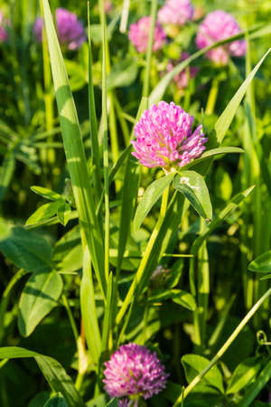 red clover: Trifolium pratense L. (red clover) flowers in the meadow