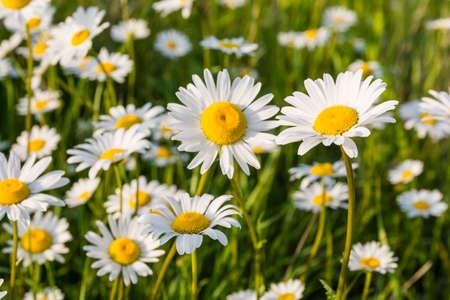 marguerite: Fleurs blanches (Leucanthemum vulgare Lam., Marguerite, marguerite des prés) dans la prairie