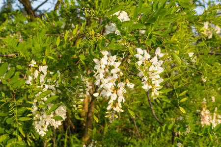 langosta: Flores blancas Robinia pseudoacacia L. (algarrobo negro)