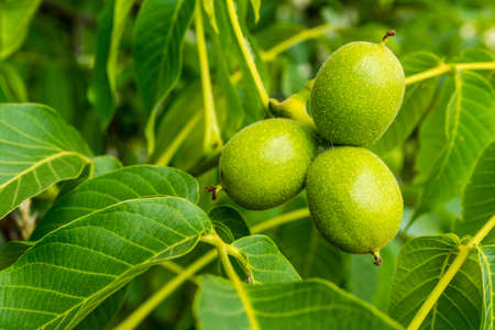 nervation: Group of young green walnut (Juglans regia L., Persian walnut, English walnut)