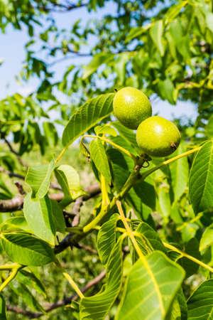 persian green: Two young green fruits walnut (Juglans regia L., Persian walnut, English walnut) Stock Photo