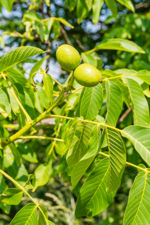 nervation: Two green fruits walnut (Juglans regia L., Persian walnut, English walnut)