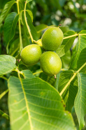 nervation: Three fruits of walnut (Juglans regia L., Persian walnut, English walnut) in the spring season