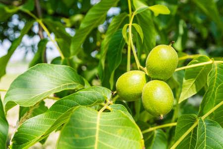nervation: Group of three walnut (Juglans regia L., Persian walnut, English walnut) on a twig