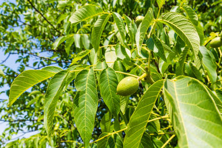 nervation: Leaves and young fruit walnut (Juglans regia L., Persian walnut, English walnut)