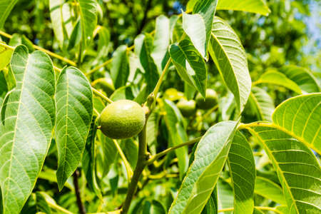 nervation: Green fruit of a walnut (Juglans regia L., Persian walnut, English walnut)