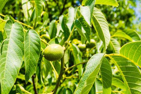 nervation: Green fruit of a walnut (Juglans regia L., Persian walnut, English walnut)