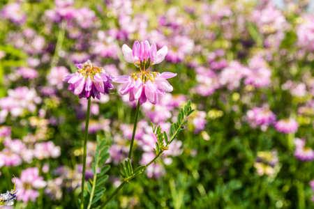 vetch: Flower (Securigera varia, Coronilla varia, crown vetch, purple crown vetch) blooming in the meadows