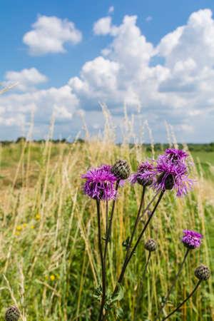 #1585 ヤグルマギク (ヤグルマソウ スカビオサ l.) はヤグルマギク属の多年生の植物