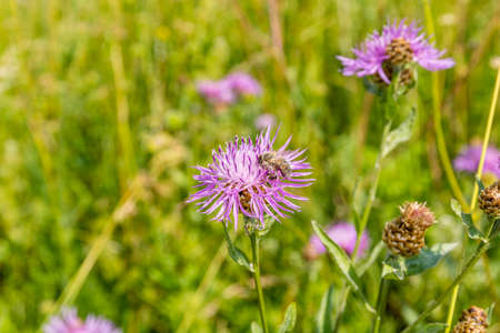 apis: Western honey bee (European honey bee, Apis mellifera) on a flower Centaurea jacea (brown knapweed, brownray knapweed)