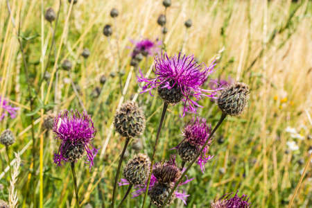 perennial plant: Perennial plant (Centaurea scabiosa L., Greater Knapweed) of the Asteraceae family