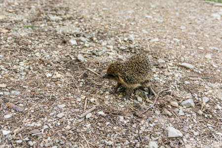 belonging: Hedgehog (Northern white-breasted hedgehog, Erinaceus roumanicus) is a mammal belonging to the order Insectivora