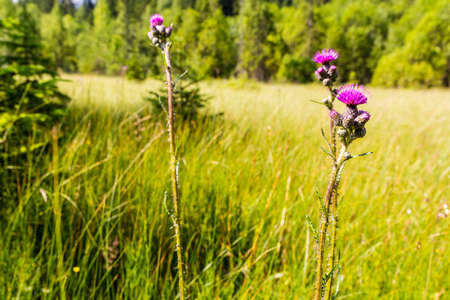 l natural: Cirsium palustre (L.) Scop. (marsh thistle, European swamp thistle) in natural habitat is mire