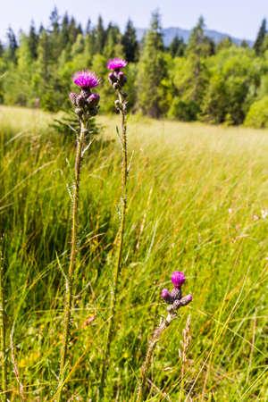 protected plant: Blooming flowers (Cirsium palustre (L.) Scop., marsh thistle, European swamp thistle) on peatland