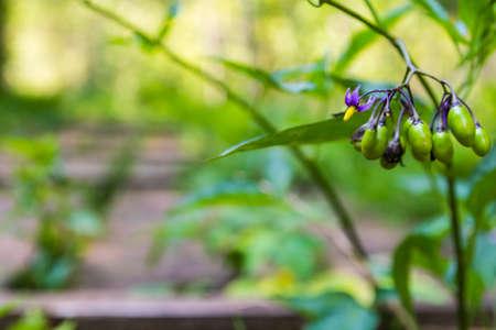 solanaceae: Purple flower and green fruits Solanum dulcamara (bittersweet, bittersweet nightshade, bitter nightshade, blue bindweed, Amara Dulcis, climbing nightshade, fellenwort, felonwood, poisonberry, poisonflower, scarlet berry, snakeberry, trailing bittersweet,