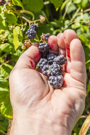left hand: Picking blackberries fruit (Rubus sp.) with his left hand Stock Photo