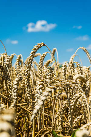 ripened: Ripened wheat in the field