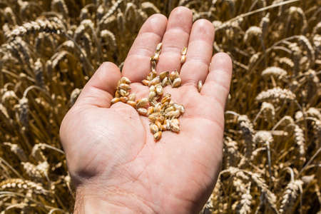 spp: Checking grains of wheat (Triticum spp) or longer suitable for mowing Stock Photo