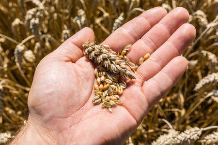 spp: Grain and ear of wheat (Triticum spp) on hand