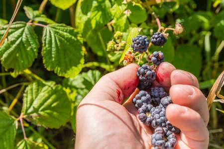 picking: Fruit picking blackberries (Rubus)