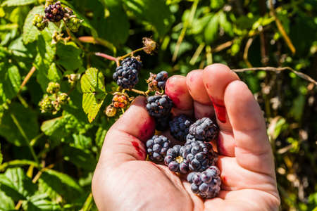 picking fingers: When blueberry fruit (Rubus) picking fingers get dirty with the juice.