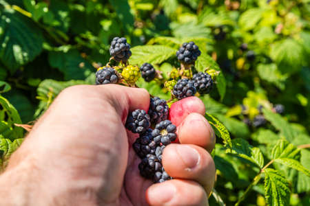 rubus: Picking blackberries (Rubus sp.)