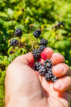 picking: Picking Rubus sp. (blackberries)