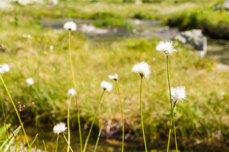herbaceous  plant: Eriophorum vaginatum L. (hares-tail cottongrass, tussock cottongrass, sheathed cottonsedge) is a species of perennial herbaceous plant in the family Cyperaceae