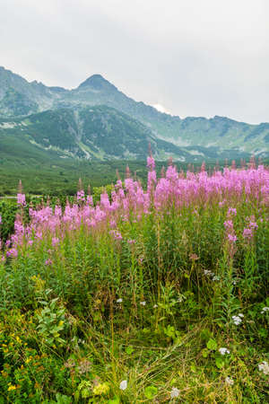 fireweed: Pink flowers Chamerion angustifolium (fireweed, great willow-herb, rosebay willowherb) from mountain ridge in the background Stock Photo