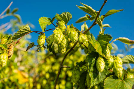 common hop: Cones so is commonly called a bar Flower (female flower) Humulus lupulus (common hop, hop) Stock Photo