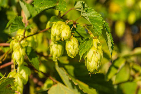 common hop: Humulus lupulus (common hop, hop) is a species of flowering plant in the Cannabaceae family - Female flower (flower bar)