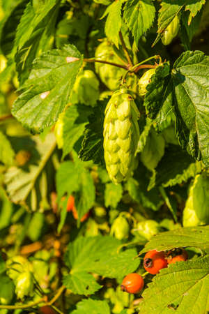 common hop: Flower bar (female flower) - Humulus lupulus (common hop, hop) is a species of flowering plant in the Cannabaceae family