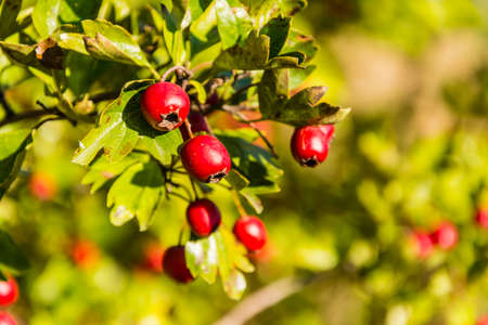 mayflower: Ripe red fruit of hawthorn (Crataegus laevigata, midland hawthorn, English hawthorn, woodland hawthorn, mayflower)