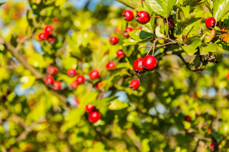 mayflower: Red fruits of hawthorn (Crataegus laevigata, midland hawthorn, English hawthorn, woodland hawthorn, mayflower)