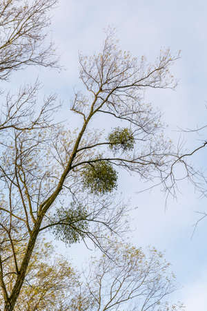 osier: Parasitic plant mistletoe in the branches of willow