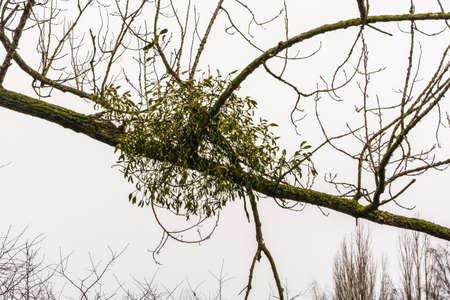 old english: Viscum album (European mistletoe, common mistletoe, mistletoe, Old English mistle, Viscum album subsp. album)