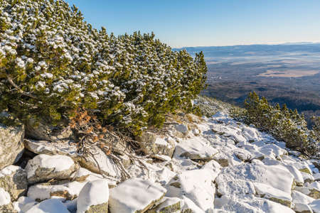 mugo: Mountain trail located next to the mountain pine covered with snow.