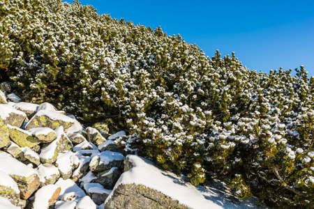 mugo: Mountain pine (Dwarf pine, Pinus mugo) sprinkled with snow.