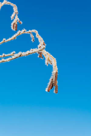 european white birch: Fruits of birch in hoarfrost against the sky. Stock Photo