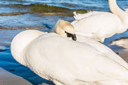 cygnus olor: Mute Swan (Cygnus olor) put the beak in feathers. Stock Photo