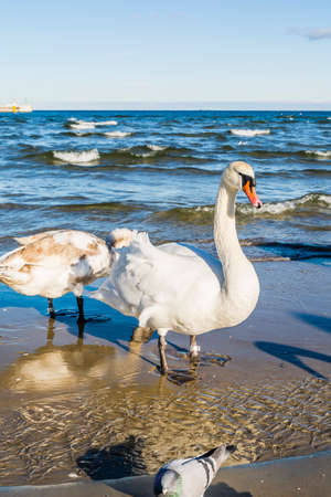 anatidae: Swan on the beach by the sea. Stock Photo
