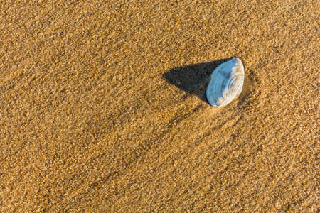 molluscs: Shell bivalve molluscs on the beach.