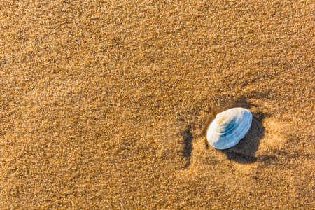 molluscs: Shell bivalve molluscs on the golden sand.