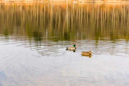 Female and male mallard duck on the lake.