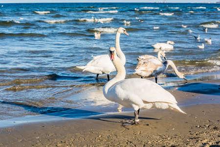 mute swan: Mute swan on the beach on the Baltic Sea.