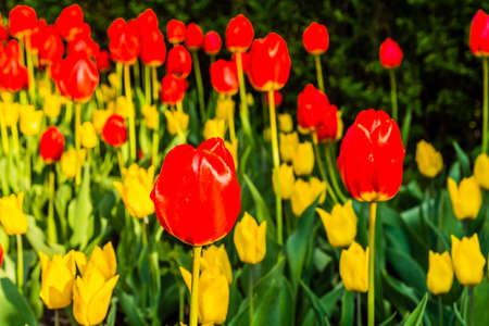perianth: Nice red tulip (Tulipa L.) planted as an ornamental flower gardens and parks.